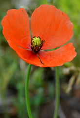 Papaver rhoeas (alcoyote89) Tags: red flower papuela poppy amapola green