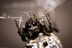 Spined Micrathena (Female) (grantdaws) Tags: arthropod spider spiders male female spined micrathena baby feeding nature natural