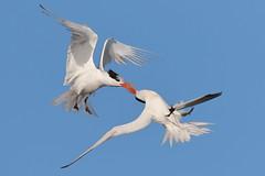 Quarrel! (bmse) Tags: canon 7d2 400mm f56 l bmse salah baazizi wingsinmotion elegant tern fight bolsachica