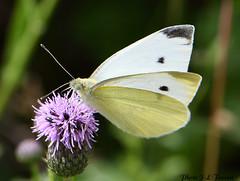 La Piéride du chou (Pieris brassicae) (jean-lucfoucret) Tags: animal nature nikon d 500 nikkor lépidoptère insecte macro macrophotographie pa papillon piéride du chou