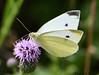 La Piéride du chou (Pieris brassicae) (jean-lucfoucret) Tags: closeup animal nature nikon d 500 nikkor lépidoptère insecte macro macrophotographie pa papillon piéride du chou
