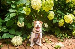 Blessed by the Flowers (moaan) Tags: dog kobe hyogo japan jp jackrussellterrier kinoko portrait dogportrait smile smiling flower flowering flora hydrangea mtrokko leicax2