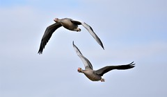 In conversation. (pstone646) Tags: birds geese nature animals flight flying fauna kent wildlife dungeness ngc