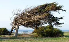 Île d'Oléron - near Phare De Chassiron (Walter Horstmann-Cholibois) Tags: wind atlantic île d'oléron phare de chassiron france frankreich baum tree arbre nature natur