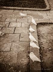birds sepia (steve: they can't all be zingers!!! (primus)) Tags: sonya7r minoltamdrokker50mmf17 sony primelens prime primeminoltalens rokkor sepiatone sepia lightroom lightroom6
