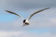 Common Tern  Anr 14th July 2017 (Nigel B2010) Tags: common tern bird nature wildlife outdoors lake sky flight flying attenborough nottinghamshire summer july uk canon 7dmkii sigma 150600c