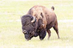 Bison (rschnaible) Tags: yellowstone national park wyoming west western us usa sightseeing tour tourist bison animal wild wildlife