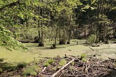 Tümpel, die Bäume mit den Füßen im Wasser (julia_HalleFotoFan) Tags: rügen inselrügen jasmund nationalparkjasmund königsstuhl viktoriasicht buchenhochwald herthasee halbinseljasmund kreidefelsen