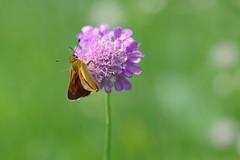 Rostfarbiger Dickkopffalter (Aah-Yeah) Tags: rostfarbiger dickkopffalter large skipper ochlodes sylvanus schmetterling butterfly tagfalter marquartstein achental chiemgau bayern