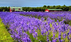 Lavender Fields Forever (Tom Mortenson) Tags: floral plants lavender purple colorful digital 24105l lavenderfield wisconsin washingtonisland doorcounty midwest america northamerica washingtonwisconsin canon geotagged canoneos canon6d beauty landscape fragrance countryside scenery scenic