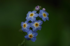 july19 2017 2 (Delena Jane) Tags: delenajane dfo flowers forgetmenot pentaxart newfoundland ngc canada closeup tiny 100mm