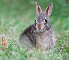 Bunny Stare (imageClear) Tags: bunny cute young baby wildlife nature aperture nikon d500 80400mm lovely grass feeding face imageclear flickr photostream