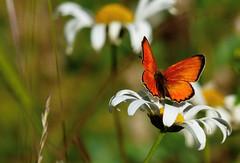 Vitfläckig guldvinge (evisdotter) Tags: vitfläckigguldvinge lycaenavirgaureae scarcecopper fjäril butterfly summer nature macro bokeh sooc flower ngc coth5