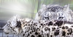snow leopard (Tomo M) Tags: halfaface smileonsaturday mother son ユキヒョウ 旭山動物園 fauna animal zoo hokkaido white