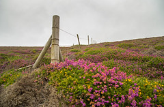 Heather fence (jimj0will) Tags: ff fencedfriday fence heather wire colours cornwall wild england purple pink yellow line beautiful wideangle