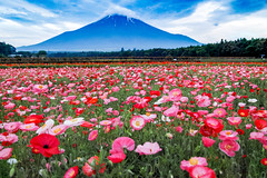 Summer Fuji and Poppy (shinichiro*@OSAKA) Tags: 20170704sdqh6630 2017 crazyshin sigmasdquattroh sdqh sigma 1224mm f4 dg hsm july summer yananashi japan jp 花の都公園 ポピー flower poppy 36044420312 candidate