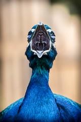 Peacock (_John Hikins) Tags: peacock bird animal wildlife nikon nature beak mouth paignton paigntonzoo torbay d5500 devon zoo nikkor 18300mm 18300