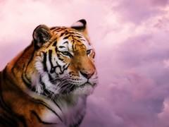 brookfield zoo. may 2017 (timp37) Tags: picmonkey brookfield zoo illinois tiger 2017 may