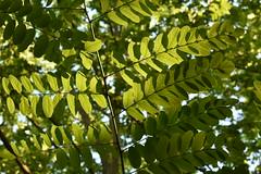 Luz filtrada (esta_ahi) Tags: morrocurt hojas fulles arbre árbol acacia robinia pseudoacacia robiniapseudoacacia falsaacacia leguminosae fabaceae árboles fontrubí penedès barcelona spain españa испания