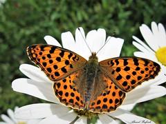 Butterfly 1378 (+660000 views!) Tags: butterfly borboleta farfalla mariposa papillon schmetterling فراشة
