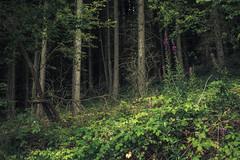 Green (Netsrak) Tags: rursee nature natur tree trees baum bäume wald forest woods eifel green grün sommer summer