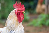 Galinha Pollo Chicken (ruimc77) Tags: nikon d810 tamron sp 70200mm f28 di vc usd galinha pollo chicken rural cock animal campo country bokeh nature naturaleza natureza dof custodia custódia pe pernambuco brasil brazil tamronsp70200mmf28divcusd nikond810 bresil brèsil 巴西 ブラジル البرازيل ברזיל brazilië brasilien бразилия brasile 브라질