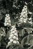 Blossom II-b : Horse Chestnut (theReedHead) Tags: thereedhead sonya6000 sony18105mmf4 bw blackwhite blackandwhite realism horsechestnut aesculushippocastanum treeblossoms treefoliage whiteflowers lakeparkmilwaukee lakepark milwaukee wisconsin sony18105mm botanical floral botany milwaukeephotographers wisconsinphotographers blooms blooming blossoms blossoming flora flowers flowering foliage closeups