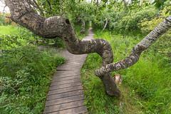 Boardwalk at The Crooked Bush (Brad Reimer) Tags: thecrookedbush saskatchewan aspen trees boardwalk twisted crooked bush
