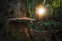 Nature (beaugraph) Tags: nationalpark nature sunstar tasmania liffeyfalls australia mushroom ferns afternoonlight