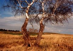 Future World`s Most Famous Birch (Rasputin AK-47) Tags: canon fd slr 35mm kleinbild analog analogue film filmphotography filmisnotdead пленка фотопленка ak47 canonav1 av1 canon24mm 24mm evening grass tree birch frame sky steppe joy wind spring
