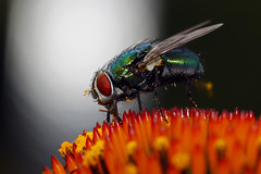 Fly On Cone Flower (1selecta) Tags: fly coneflower flower gone insect red yellow green white black hair hairs eye wing wings pollen spine spiny point pointy sharp jagged jaggy spike light orange blue compuondeye
