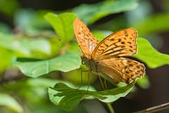 Kaisermantel (Argynnis paphia) (AndreLo2014) Tags: kaisermantel argynnis paphia tagfalter butterfly macro sony sigma 105mm schmetterling