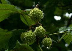 IMGP3543.jpg (Zeilenende) Tags: baum kugel kastanie frucht rosensteinpark stuttgart stacheln stuttgartnord
