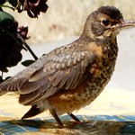 Fledgling Robin at Birdbath thumbnail