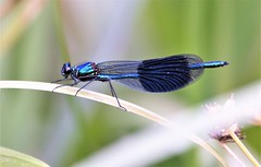 Stunning Demoiselle. (pstone646) Tags: demoiselle banded blue nature insect fauna closeup ashford kent animal wildlife bokeh ngc