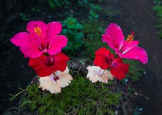Directly above shot of red and white hibiscus flowers, Malampa Province, Malekula Island, Vanuatu