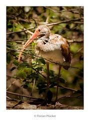 Ibis (florianpluecker) Tags: ibis bird vogel wattvogel big bend cypress boardwalk everglades usa florida florian pluecker sigma 150600 contemporary