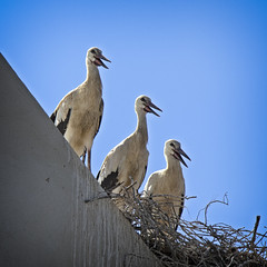 The Three Musketeers (MrBlueSky*) Tags: storks stork bird nest wildlife comporta alentejo portugal outdoor kingdomanimalia travel canon canoneos canonm6 nature