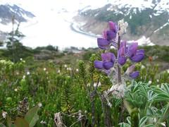 Bear Glacier (artofjonacuna) Tags: bear glacier seward alaska flower
