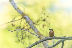 Martin-pêcheur de Normandie (Richard Holding) Tags: martinpêcheurdeurope bird eure kingfisher m43 normandie normandy oiseau olympus omd