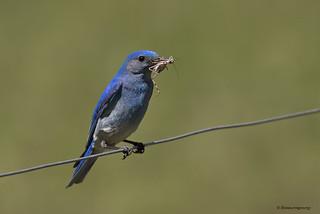 Mountain Bluebird | Merlebleu azuré