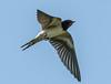 Come Nessuno Vola - Rondine (G.Sartori.510) Tags: pentaxk1 hdpentaxdfa150450mmf4556eddcaw rondine swallow