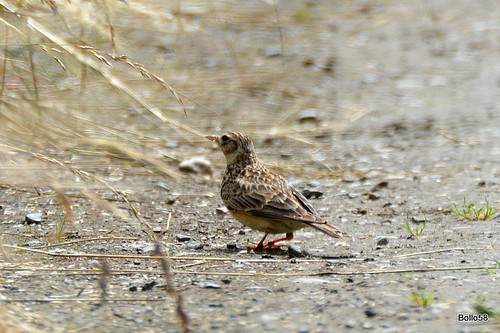 Skylark - Home Farm Marsh, Fremington 04-07-2017 13-58-58