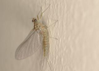 Mayfly EF7A6057
