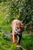 IMG_5908 (TvdMost) Tags: blijdorp pantheratigrissumatrae sumatraansetijger sumatrantiger tijger