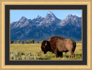 The wild, wild west... Bison bull