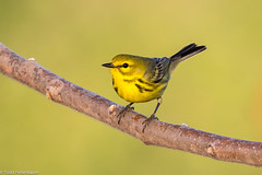 BJ8A7483-Prairie Warbler (tfells) Tags: prairiewarbler bird nature wildlife newjersey baldpatemountain passerine mercer
