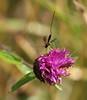 Ichneumon Wasp female (themadbirdlady) Tags: ichneumonwasp ichneumon parasite larva biologicalcontrol