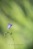 DSC_7950.jpg (cyrillepawloski) Tags: ardèche france campanule macro minimalisme bleu fleurs