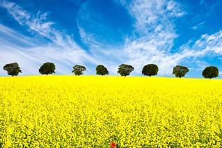 Hardal Tarlası (Mustard field)